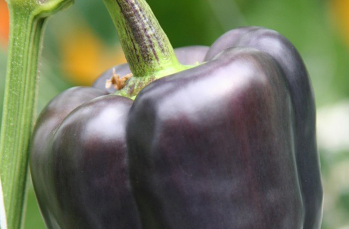 Piment doux « Purple Beauty »